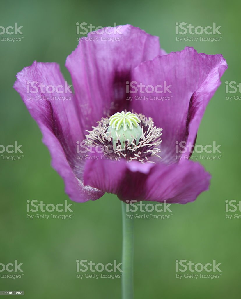 Purple poppy royalty-free stock photo