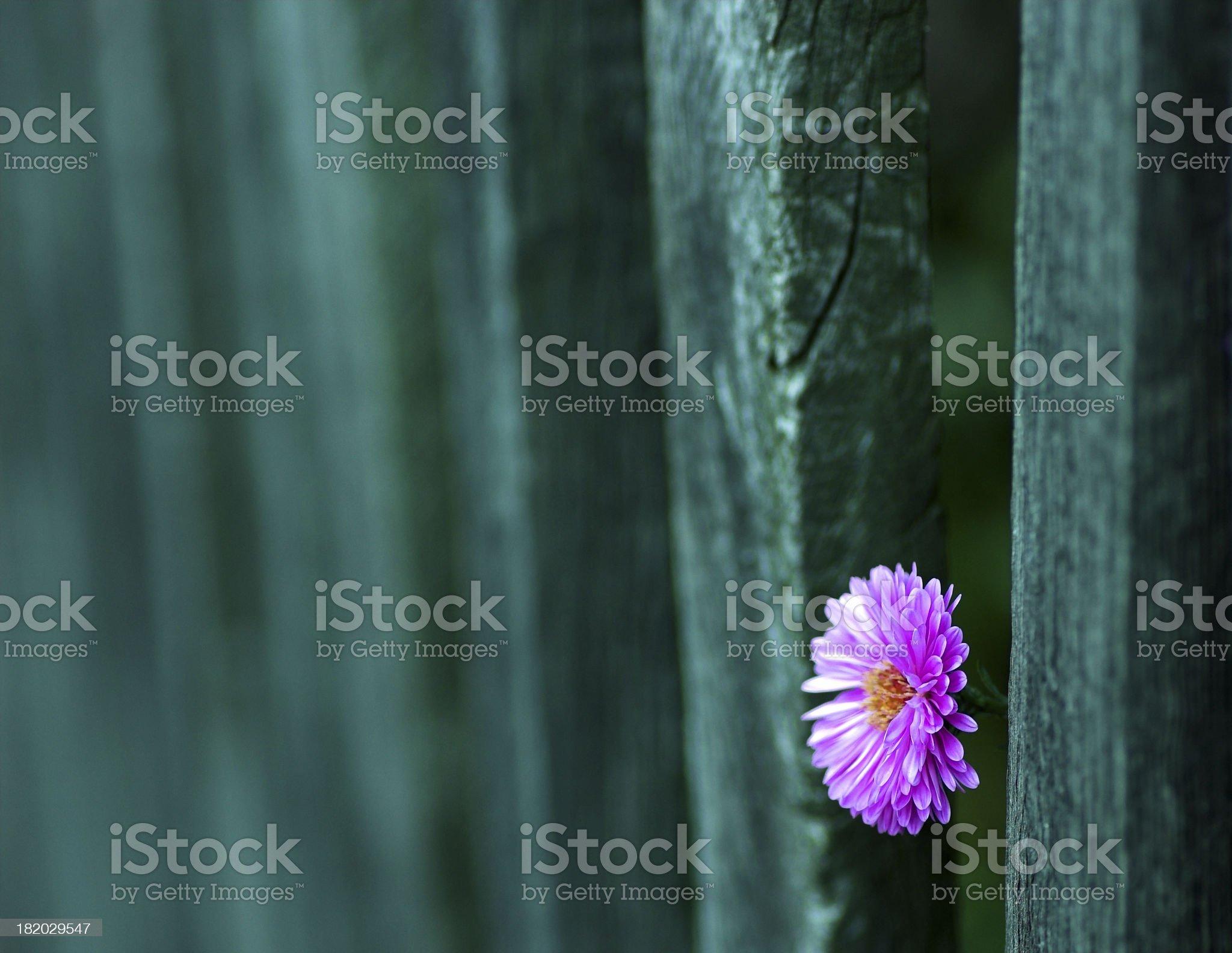 Purple Prisonier 1 royalty-free stock photo