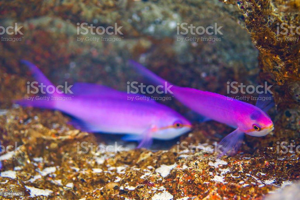Purple Queen Anthias, Pseudanthias tuka, Fairy Basslets stock photo