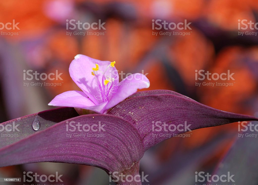 Purple Queen or Heart Plant stock photo