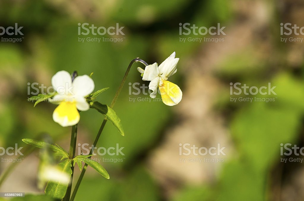 viola ricolor royalty-free stock photo