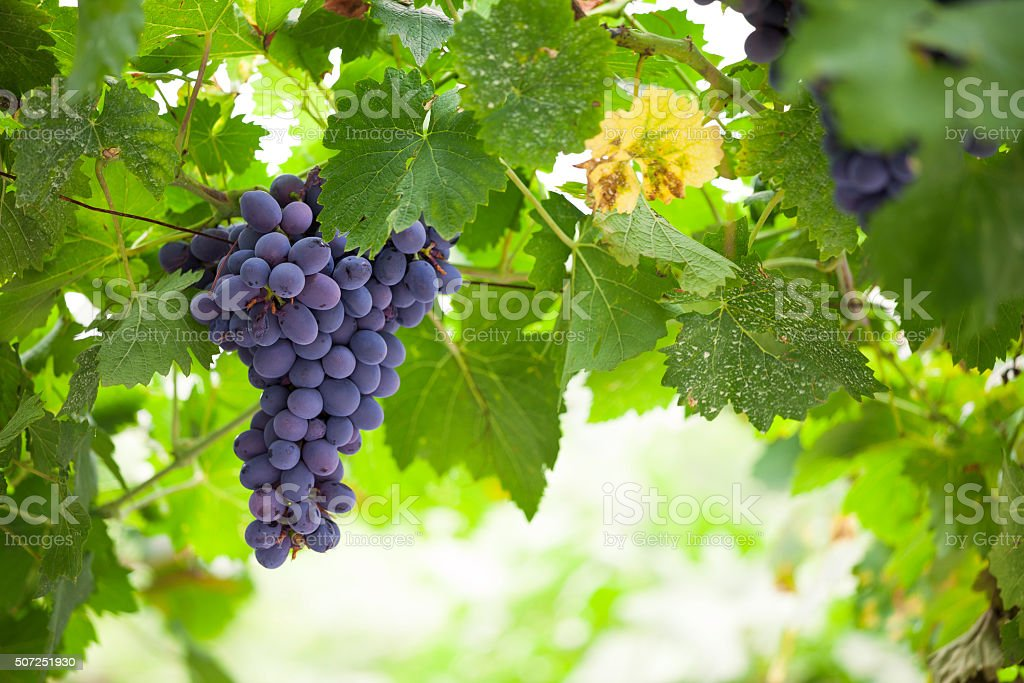 Purple red grapes with green leaves on the vine. fresh stock photo