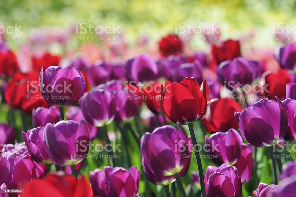 purple red group of tulips stock photo