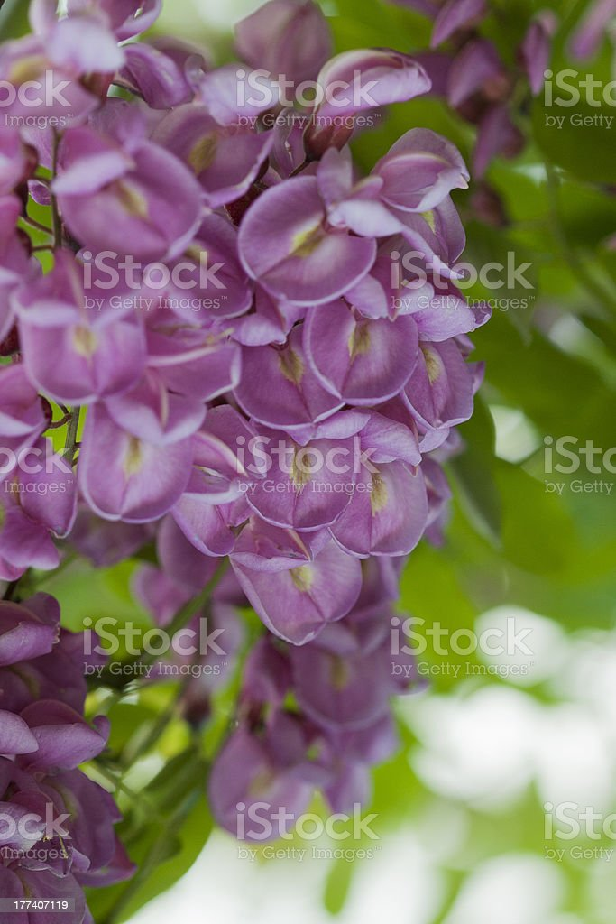 Purple Robinia Flowers stock photo