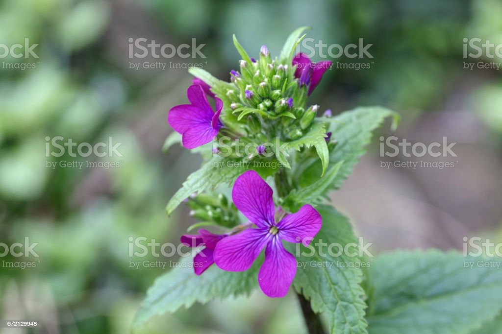 'Purple Rock Cress' flower in Canada. Its Latin name is Aubrieta Pinardii, native to Turkey. stock photo