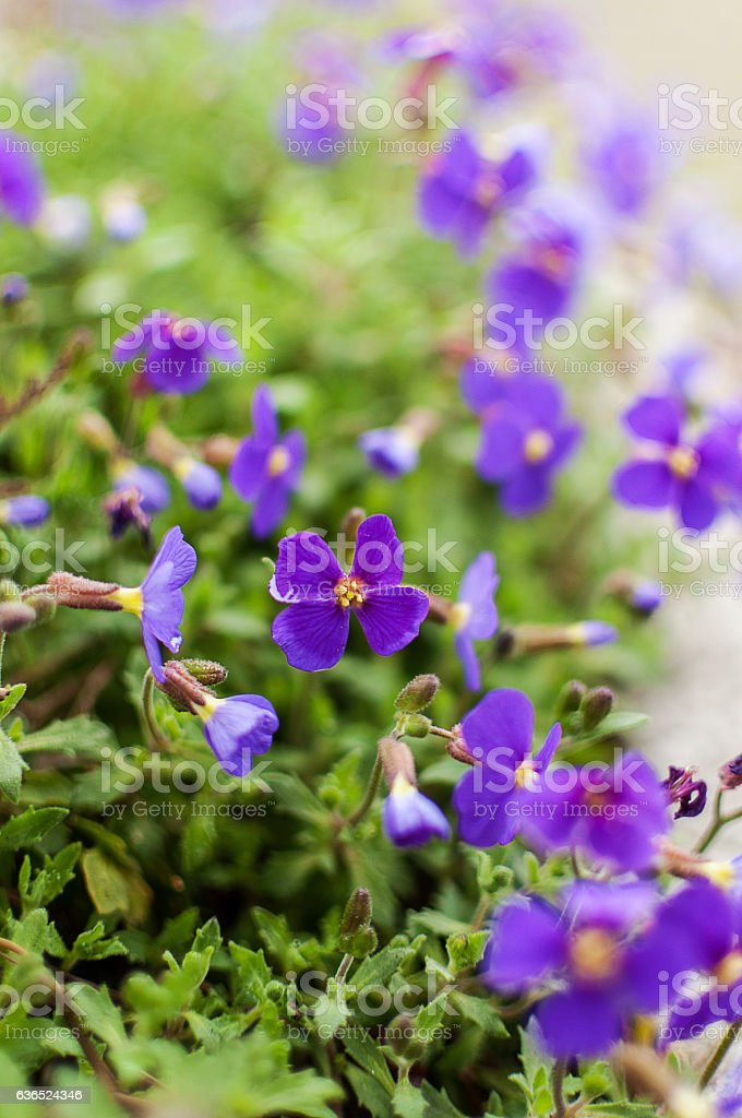 Purple Rock Cress stock photo