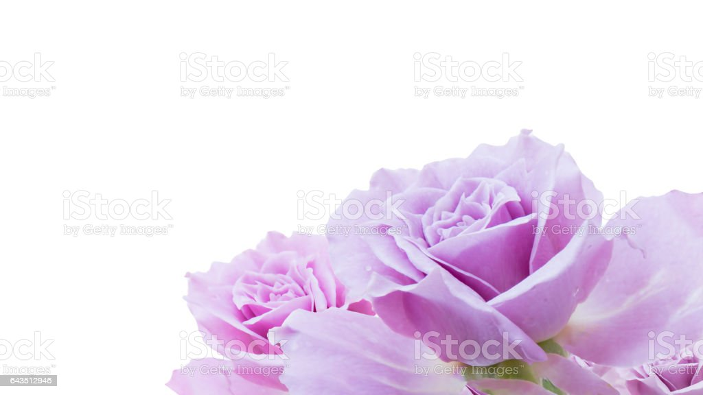 purple rose isolated on white background stock photo