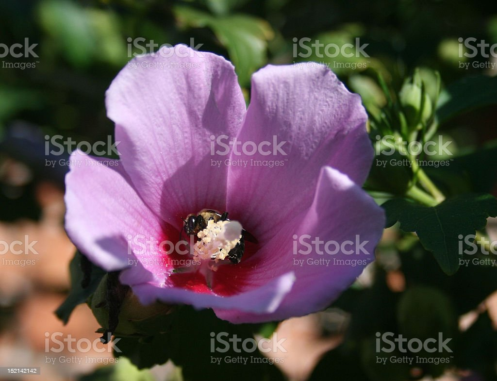 Purple Rose of Sharon Althaea Flower with Bee royalty-free stock photo