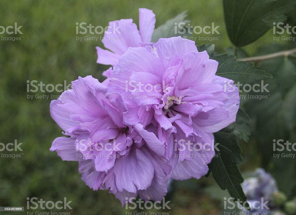 Purple Rose of Sharon - Althea royalty-free stock photo