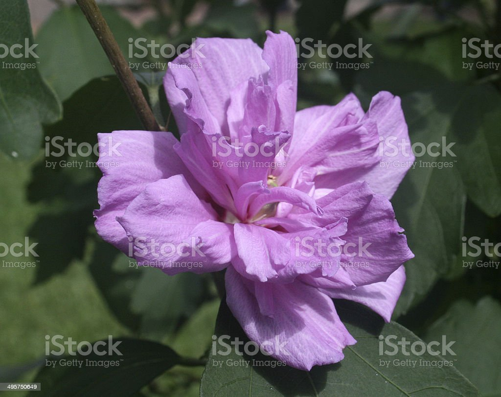 Purple Rose of Sharon Flower royalty-free stock photo