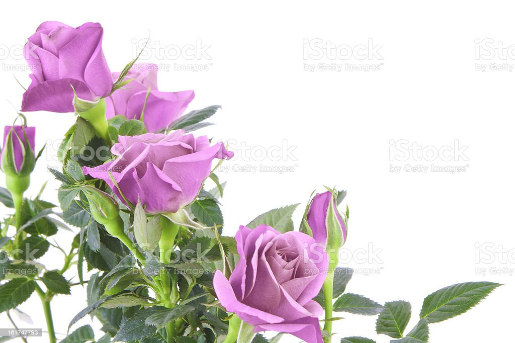 Purple rose royalty-free stock photo