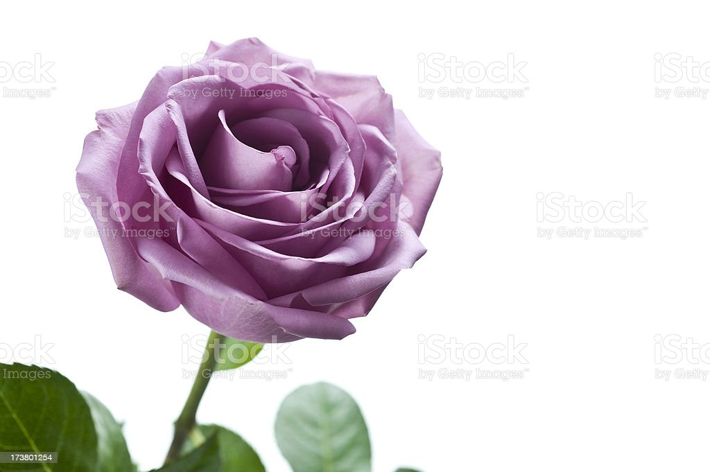 Purple Rose stock photo