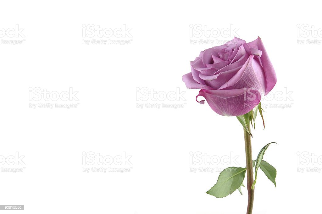 Purple rose with copy space stock photo