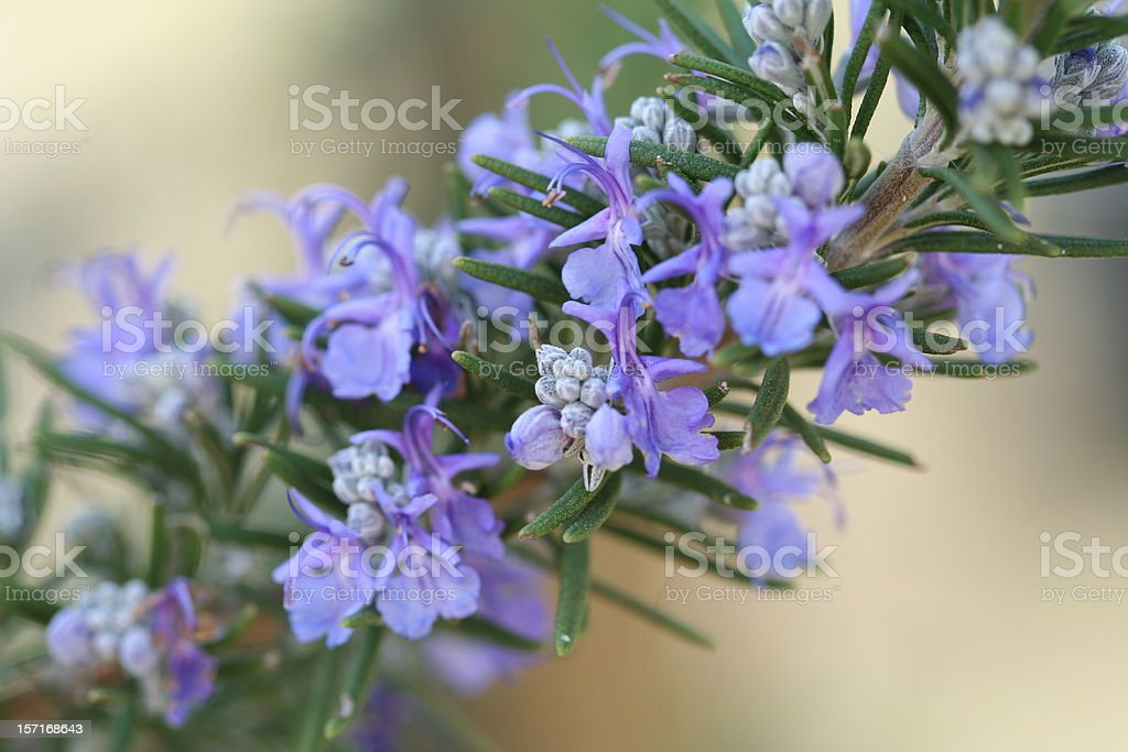 A purple Rosemary plant with flowers stock photo