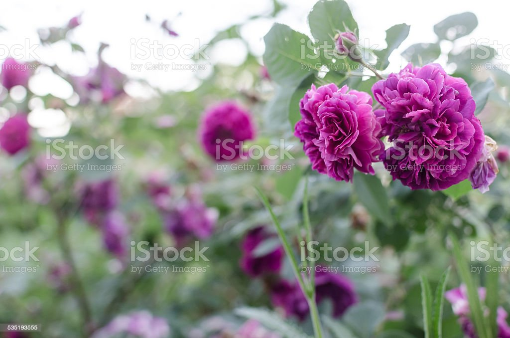 Purple Roses in the Garden stock photo