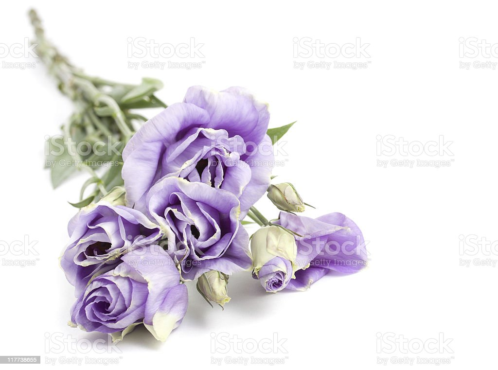 Purple Roses stock photo