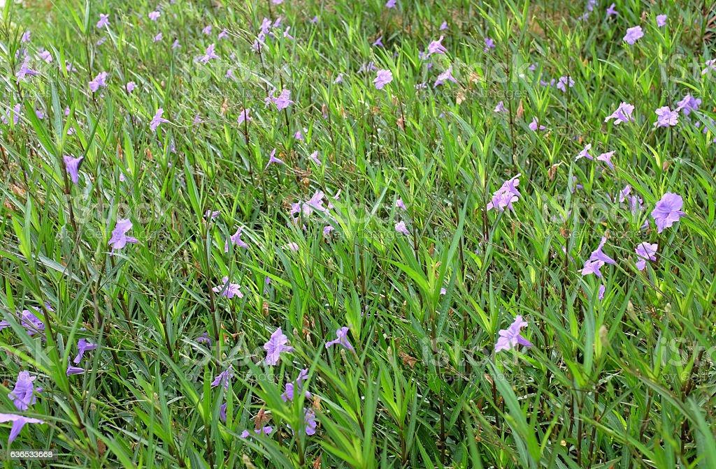 purple Ruellia tuberosa flower in the garden for background stock photo