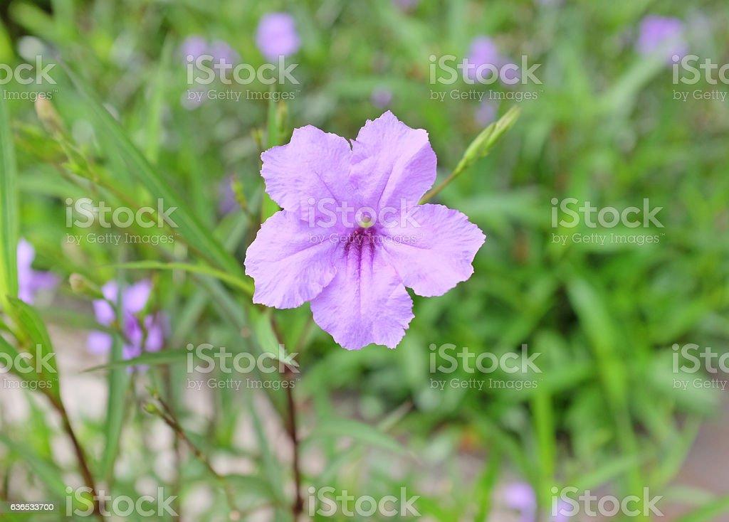 purple Ruellia tuberosa flower in the garden stock photo