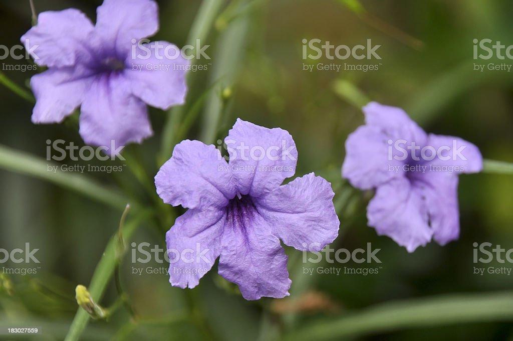 Purple Ruellia Tuberosa Flower stock photo