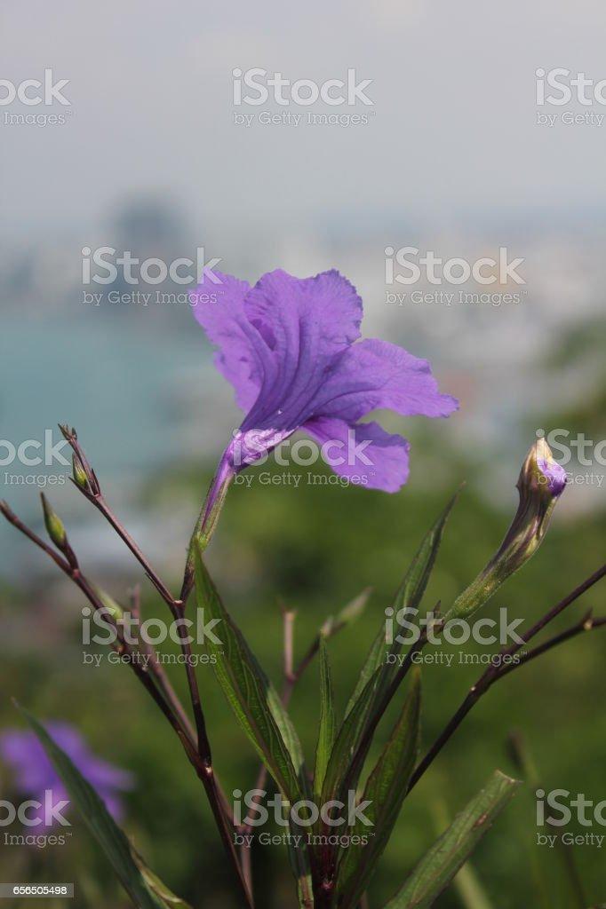 Purple ruellias flower in the garden, Ruellia tuberosa stock photo