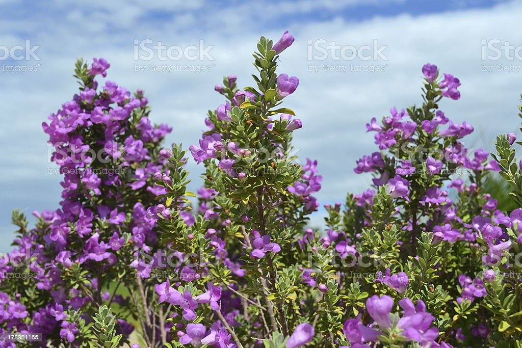 Purple Sage against a Texas sky stock photo