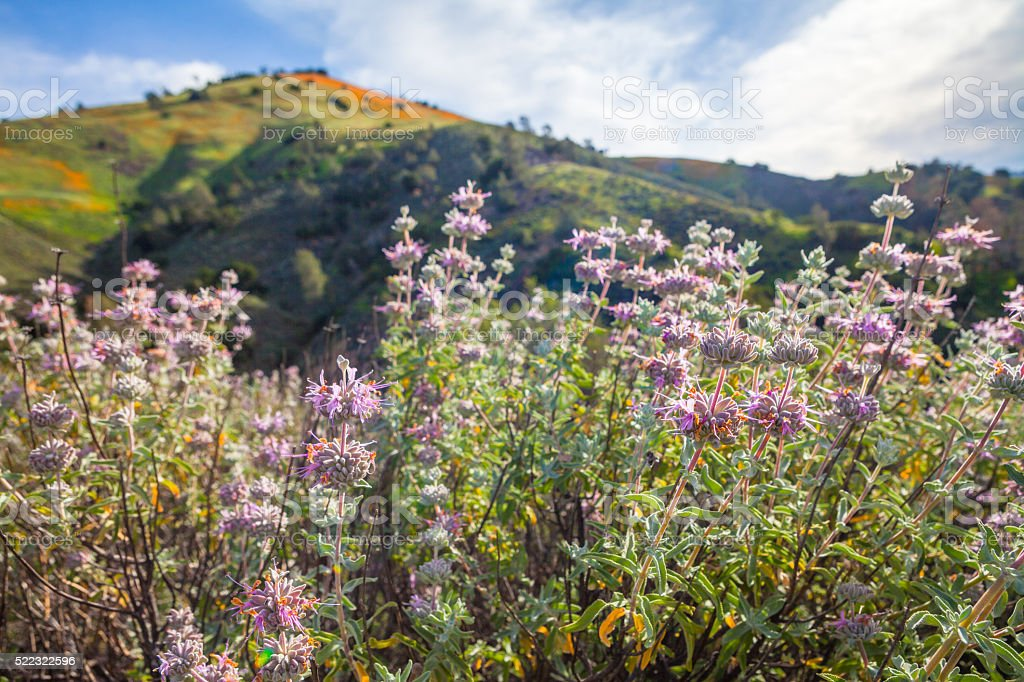 Purple Sage Blooming, & California Poppy Bloom In Background royalty-free stock photo