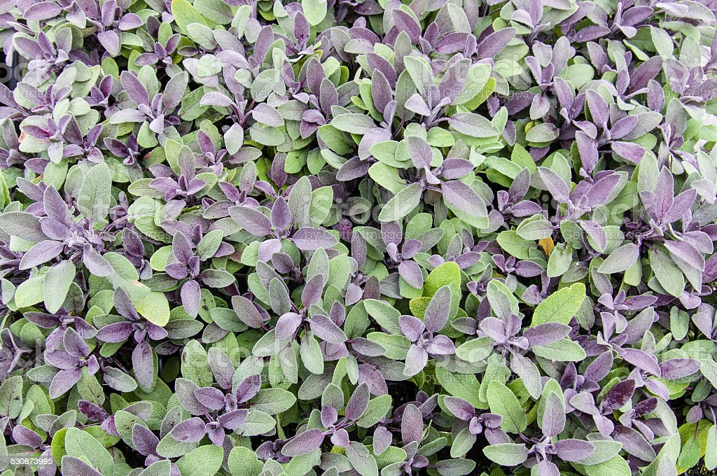 Purple sage stock photo