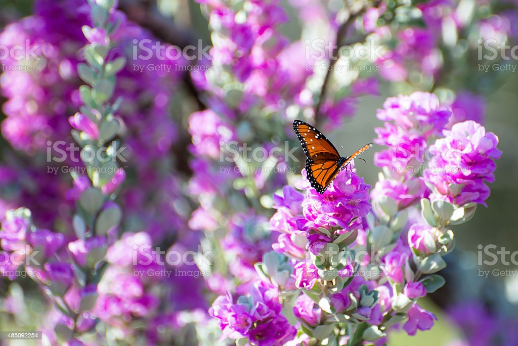 Purple Sage Queen Butterfly stock photo