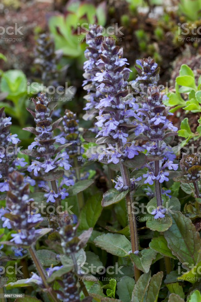 Purple sage surrounded by green stock photo