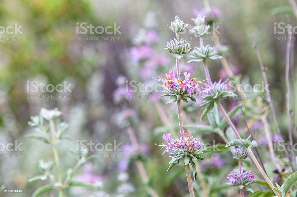 Purple Sage Wildflowers (Salvia leucophylla) In Bloom, San Rafael Mountains royalty-free stock photo