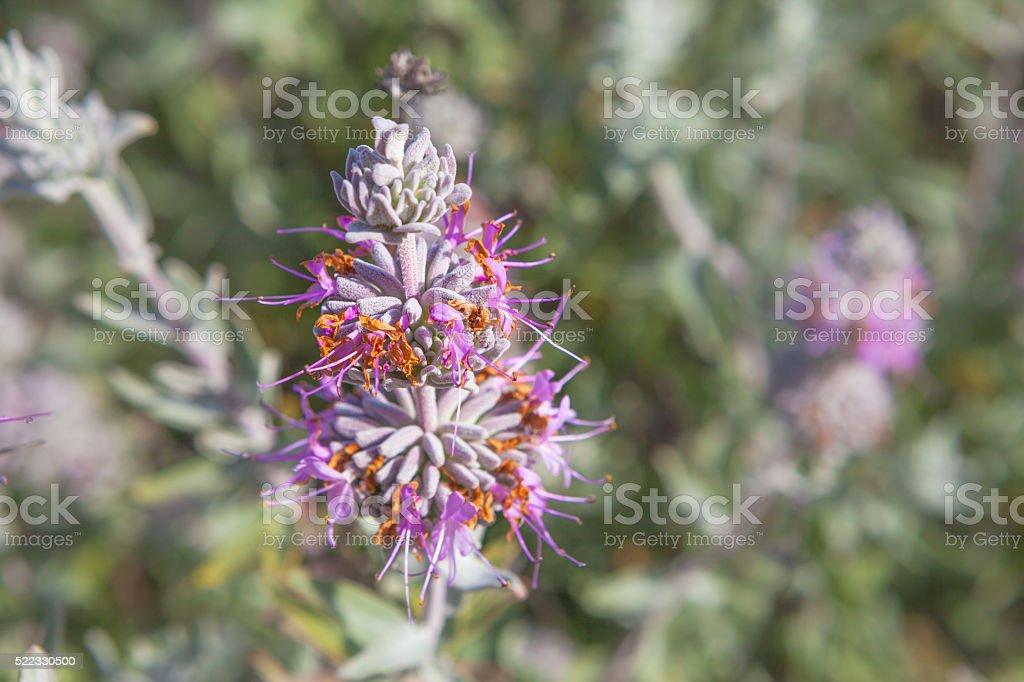 Purple Sage Wildflowers (Salvia leucophylla) In Bloom, San Rafael Mountains royalty-free stock photo