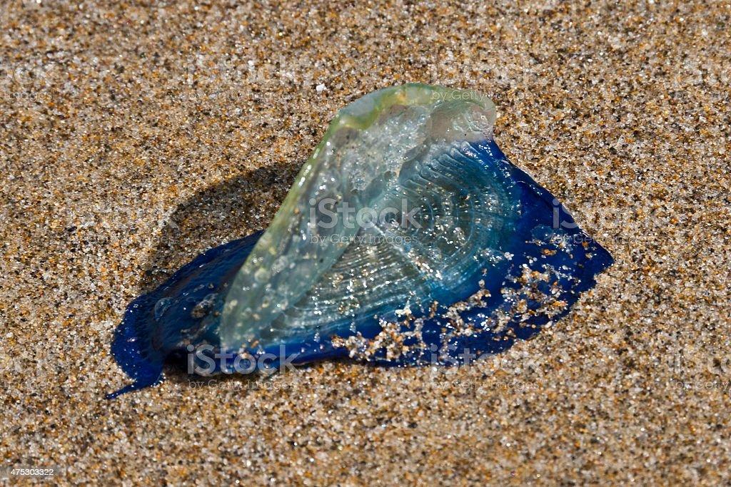 Purple Sailor Jellyfish stock photo