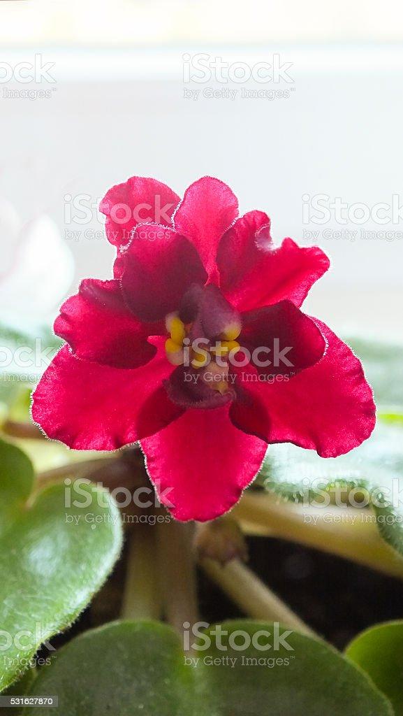 Purple Saintpaulia flower stock photo