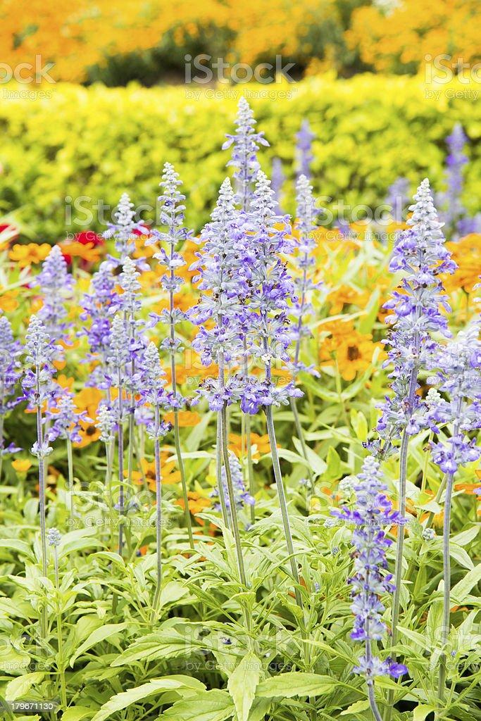 purple salvia flower royalty-free stock photo