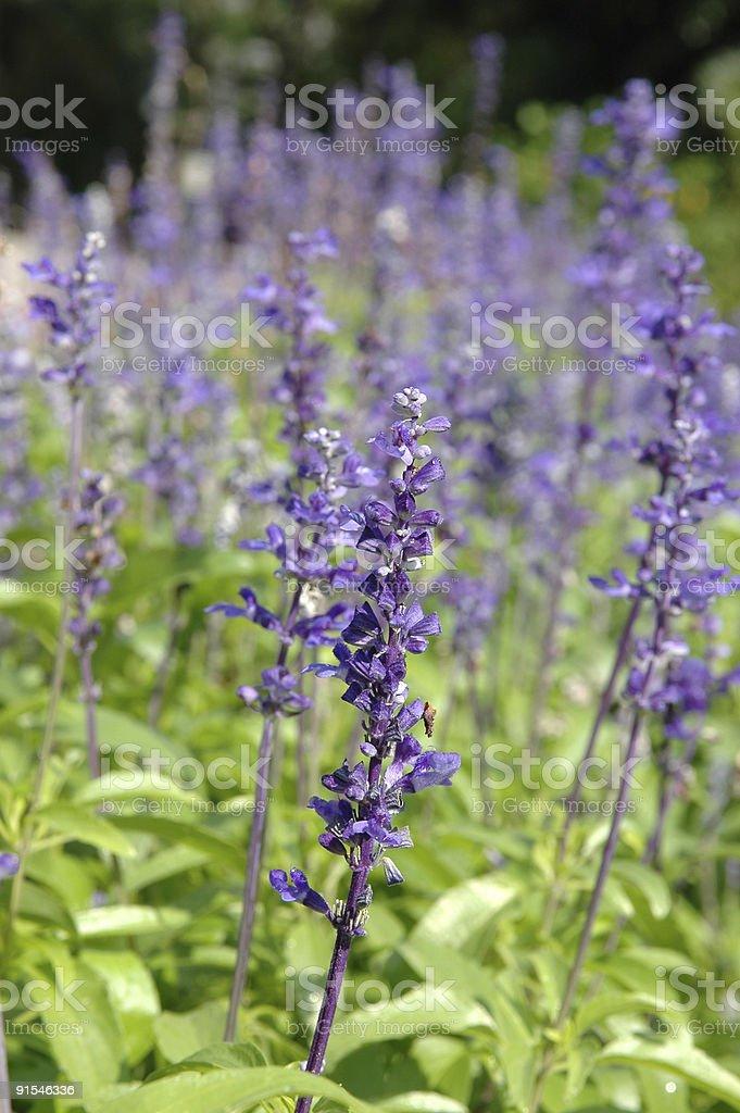 Purple Salvia royalty-free stock photo
