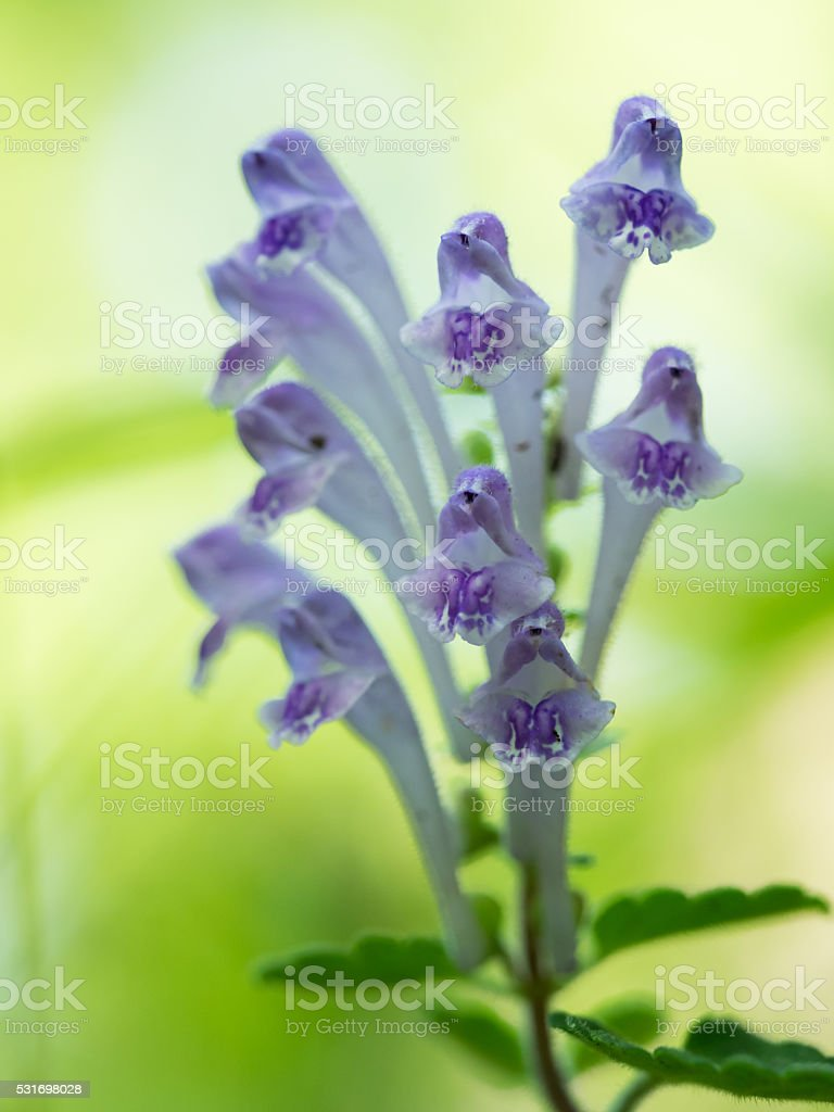 Purple Scutellaria indica var. parviflora blooms stock photo