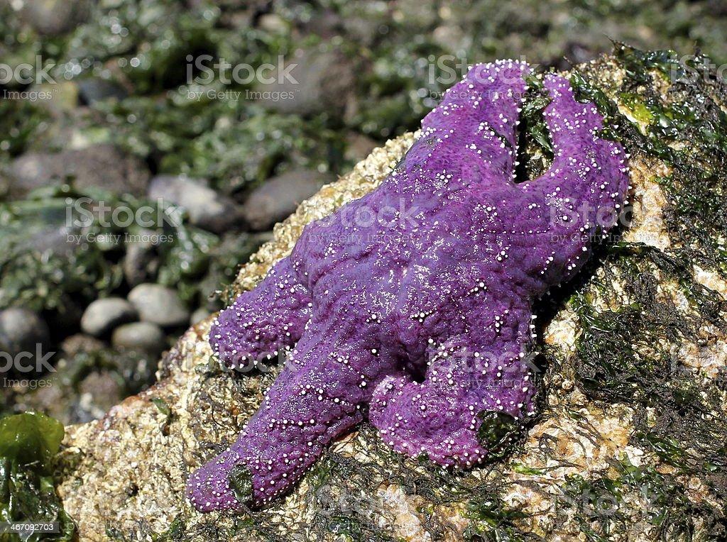Purple Sea Star Relaxing stock photo