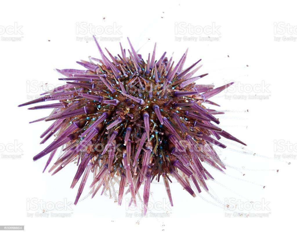 Purple Sea Urchin Isolated stock photo