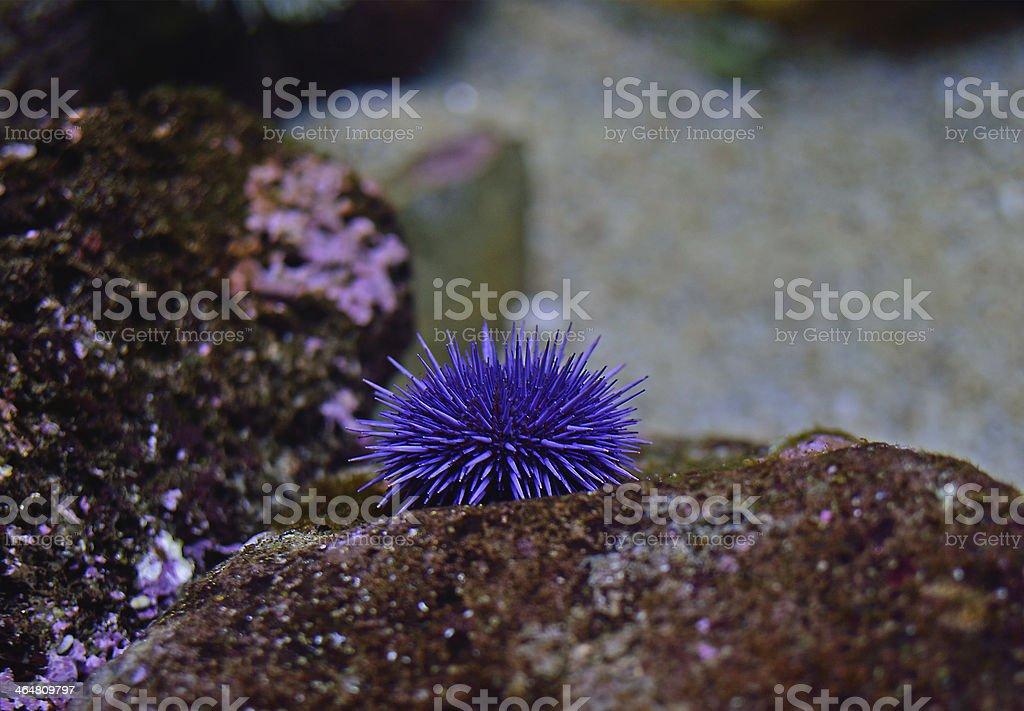Purple Sea Urchin stock photo