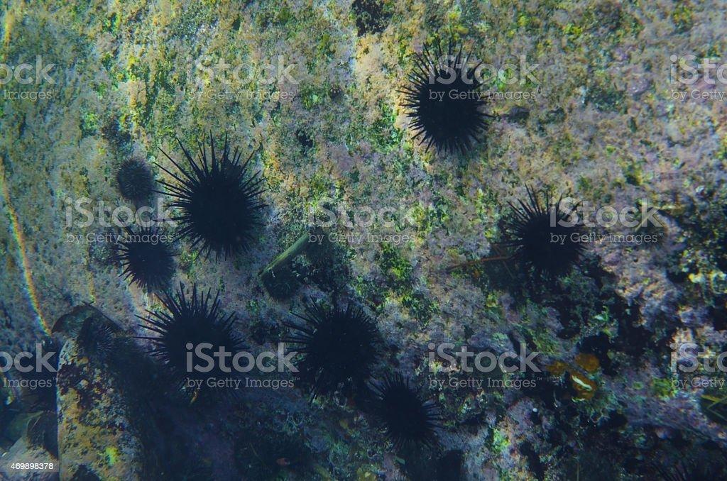 Purple sea urchin-Anthocidaris crassispina stock photo