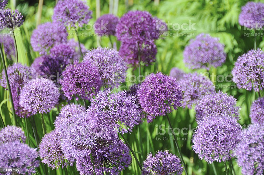 Purple Sensation stock photo