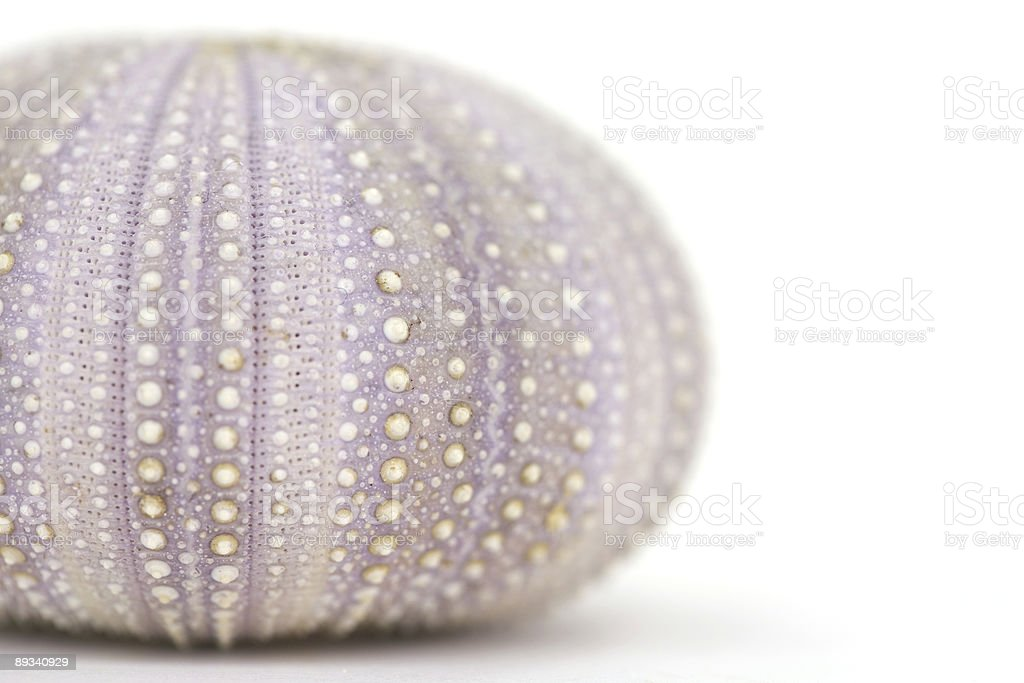 Purple Shell royalty-free stock photo