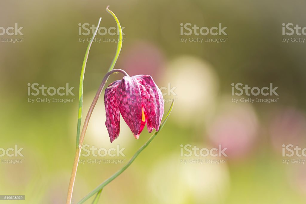 Purple snake's head fritillary flower stock photo