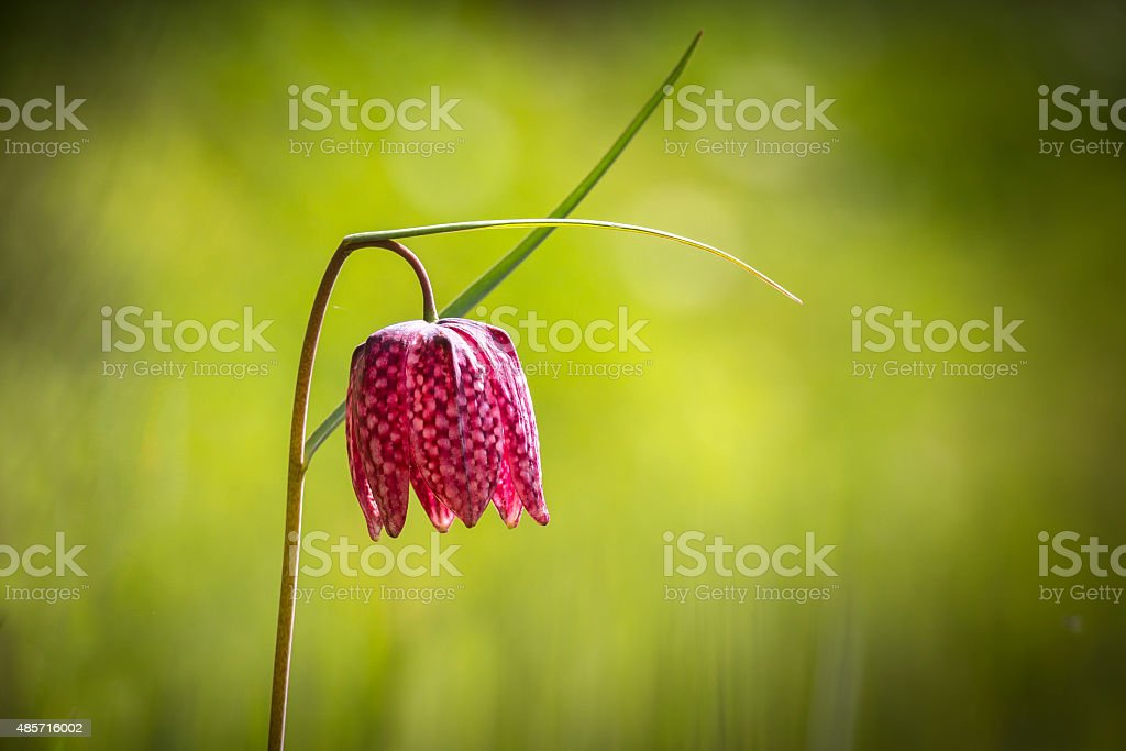 Purple snake's head fritillary stock photo