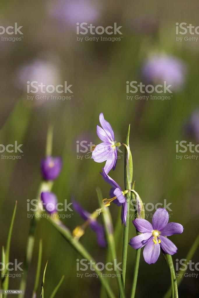 purple snow drop flowers royalty-free stock photo