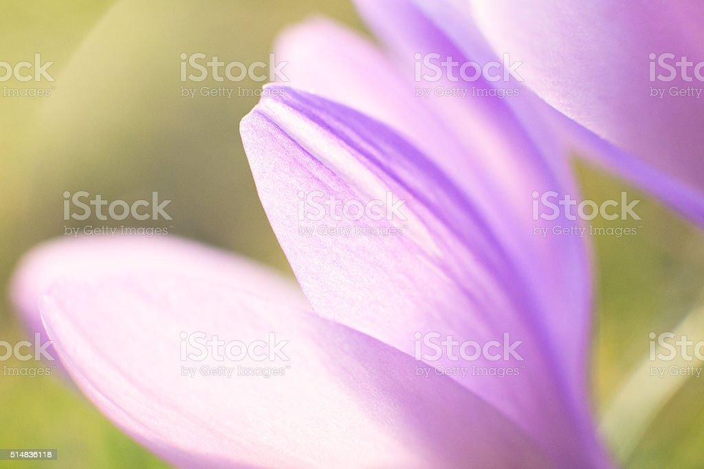 Purple Spring Crocus Flower Closeup stock photo