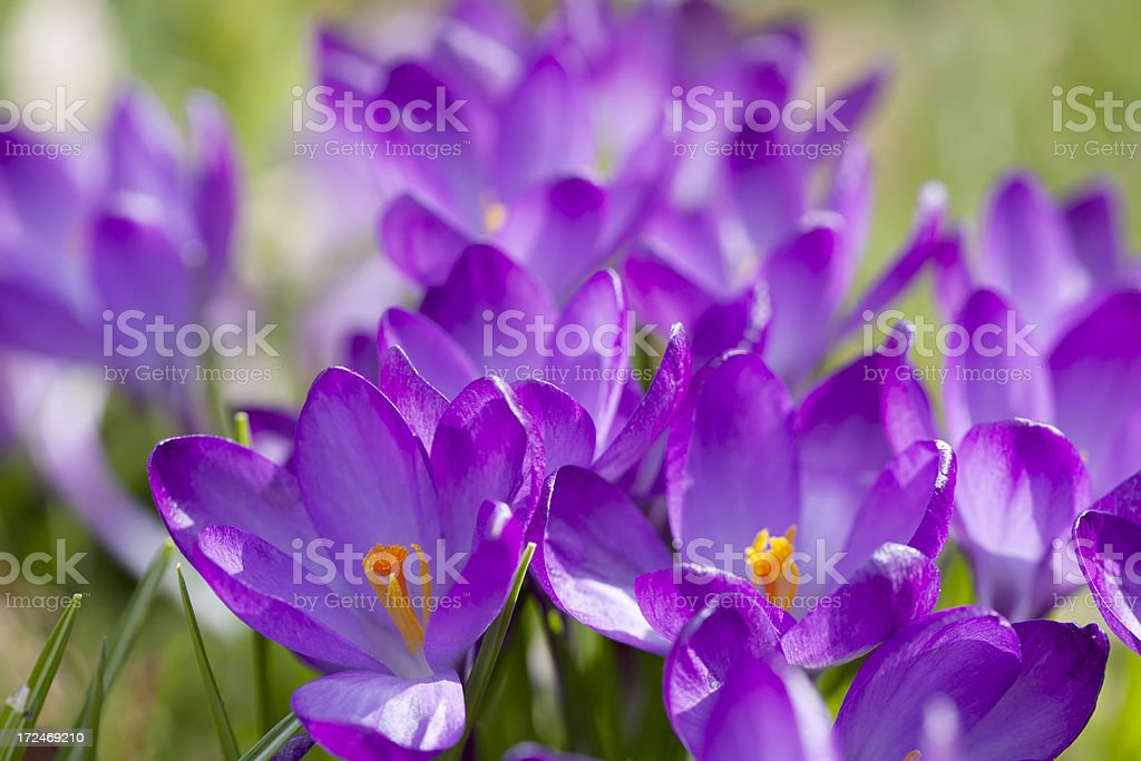 Purple Spring Crocus (C. vernus) in close-up royalty-free stock photo
