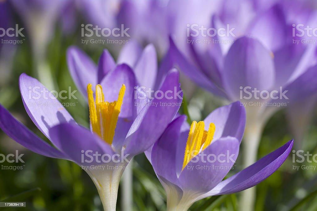 Purple Spring Crocus (C. vernus) in close-up stock photo