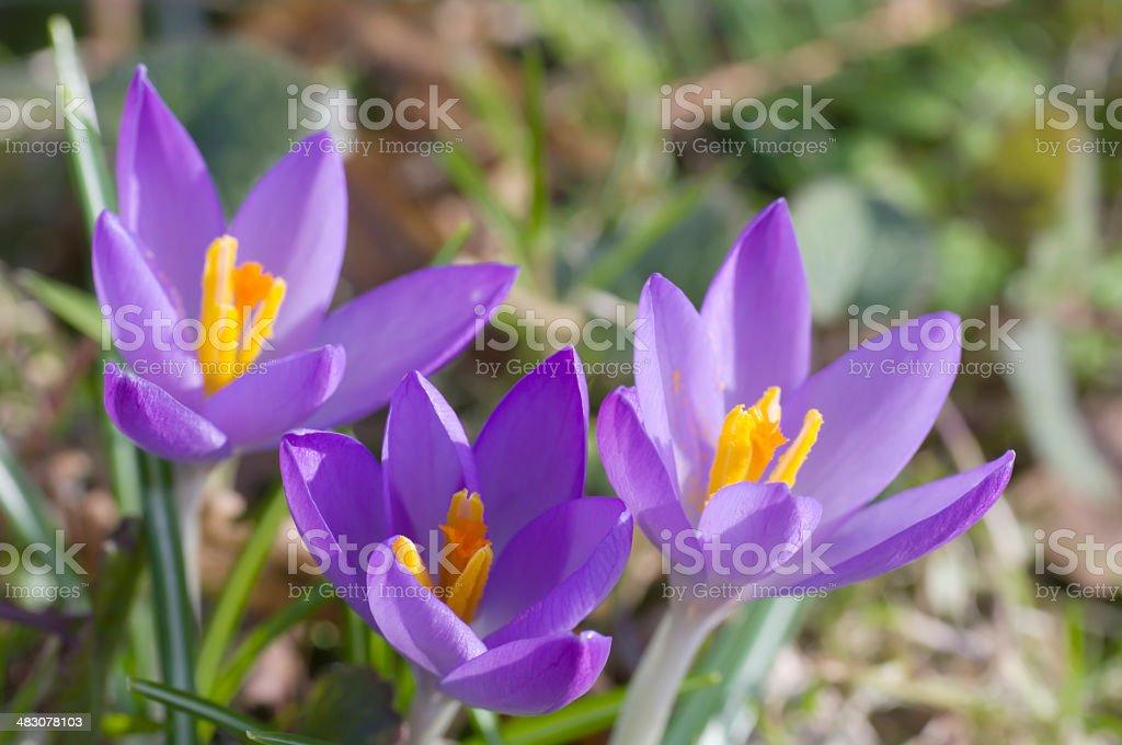 Purple Spring Crocus (C. tomassinianus) royalty-free stock photo