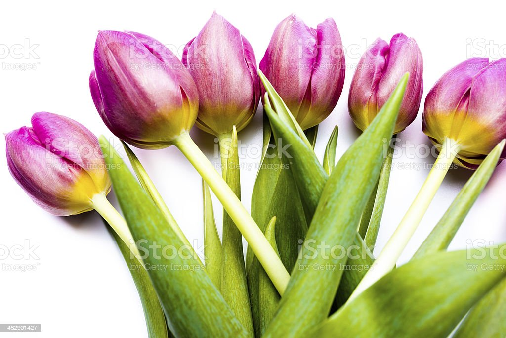 purple spring tulip on white background royalty-free stock photo